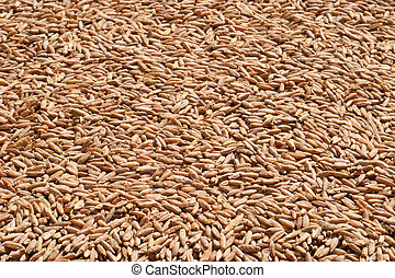 Rye grain closeup - Rye close-up image for food or agronomic...