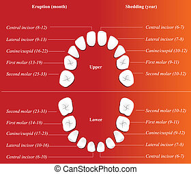 children dental chart.  - Vector children dental chart.