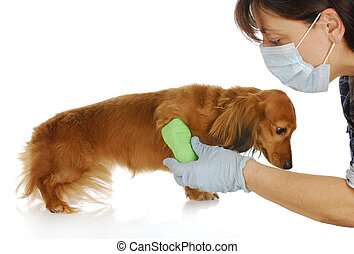 veterinary care - miniature dachshund being examined by...