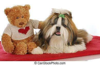 puppy love - teddy bear comforting adorable shih tzu puppy...