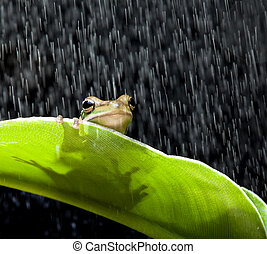Frog in the rain - Little green tree frog sitting on a...