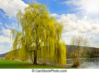 Beautiful weeping willow in a park - A tall weeping willow...