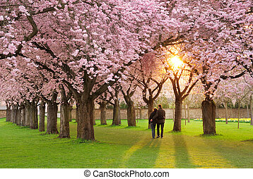 Magnificent springtime scenery - A richly blossoming cherry...