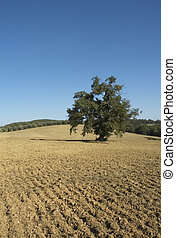 old olive tree in a field - typical tuscan lanscape