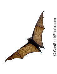 the bat - flying fox - huge bat