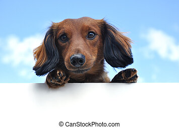 Red Long-Haired Dachshund Above a Blank Sign