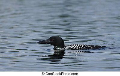 Common Loon (Gavia immer) on a Lake on a Sunny Day