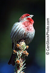 House Finch perched on top of branch.