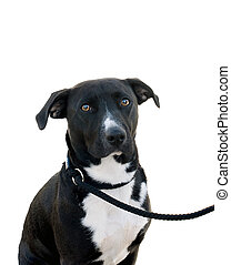 Dog on a lead - Crossbreed Dog on a lead over a white...