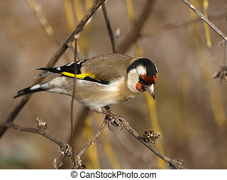 European goldfinch, Carduelis cardu