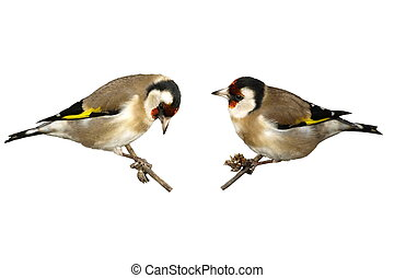 European goldfinch isolated