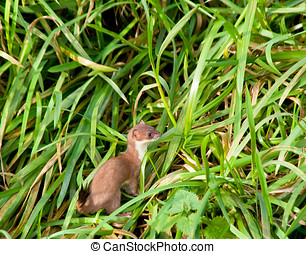 Stoat - Photo of a single stoat in the grass