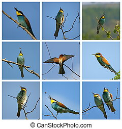 Collage European bee-eater Merops apiaster