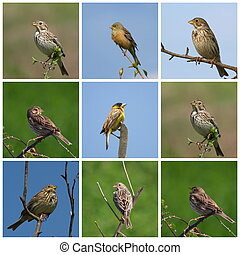 Collage Buntings, Corn Bunting, Black headed Bunting,...