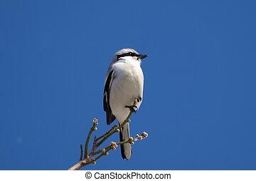 Northern Grey Shrike, Lanius excubi