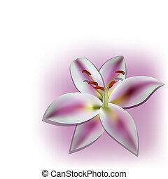 Vector lilia - Vector picture with realistic lilia