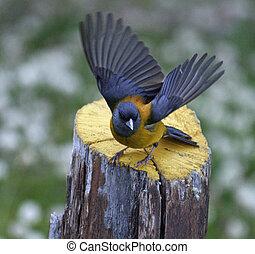Patagonian Sierra-finch bird on a tree stump