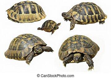 Set, Herman's, Tortoise, turtle