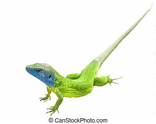 Green lizard isolated on white
