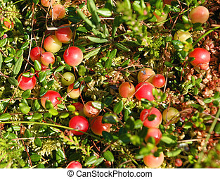 Cranberry - Wild, red berries of a cranberry Oxycoccus...