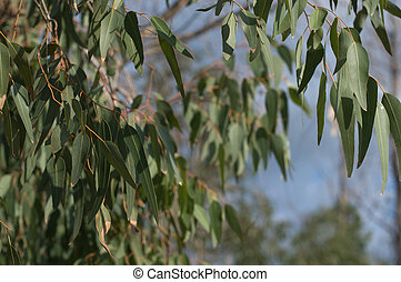 eucalyptus tree - detail of a sunlit eucalyptus tree against...