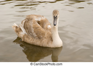 Cygnet - Photo of a cygnet swan in summer
