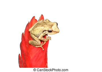 Coqui Frog - Coqui frog on red bromeliad flower,Isolated on...