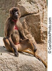 Gelada baboon Theropithecus gelada portrait