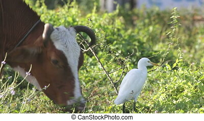 White heron and cow
