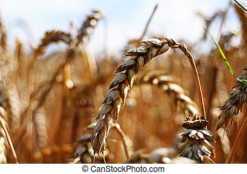 wheat grain - wheet grain on a summer field with sky showing...