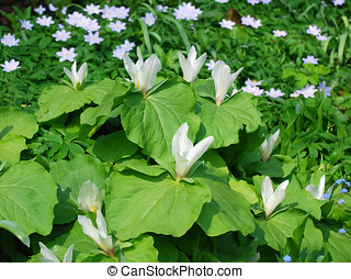 Trillium Group of white flowers and big green leaves