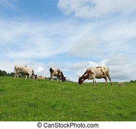 cows in green field