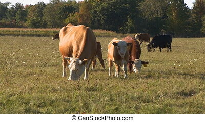 Beef Cows grazing 2 - Mother cow with calf graving