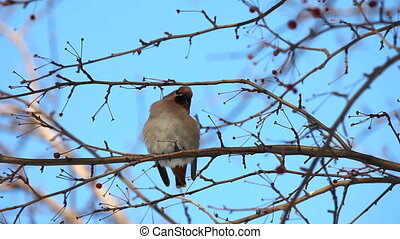 Waxwing - Bohemian waxwing on a branch of wild apple