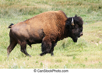 bison or buffalo bull - bison, or american buffalo Bison...