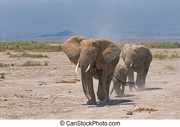 elephants family, amboseli, kenya
