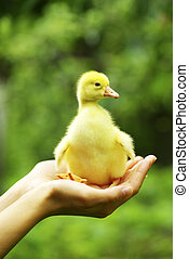 gosling  - a yellow fluffy gosling in the hand