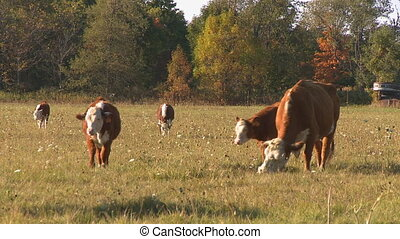 Beef Cows grazing 3 - Beef Cows & calves grazing on a Fall...