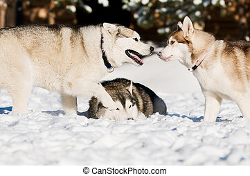 siberian husky playing at winter - three siberian husky dog...