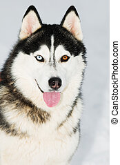 Siberian husky head portrait at winter - Portrait of...