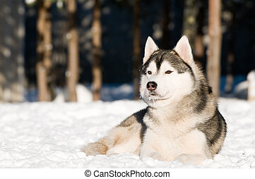 siberian husky at winter - One siberian husky dog lying on...