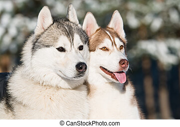 pair of siberian husky at winter - couple of siberian husky...