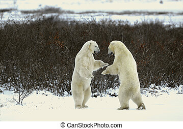 Fight of polar bears 18 - Fight of polar bears Two polar...