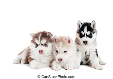 Three Siberian husky puppy isolated - three little cute...