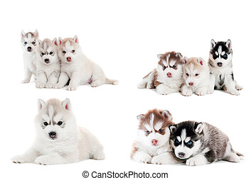 collection of little puppy of Siberian husky - collection of...