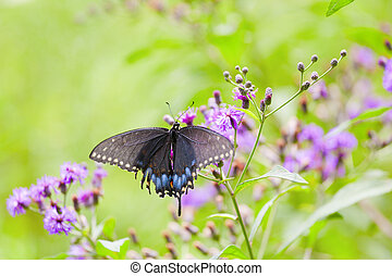 Black Swallowtail Butterfly - Closeup view of a butterfly...