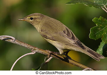Common Chiffchaff - Portrait Common Chiffchaff perched on...