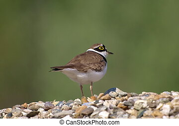 Little Ringed Plover - Close up Little Ringed Plover,...
