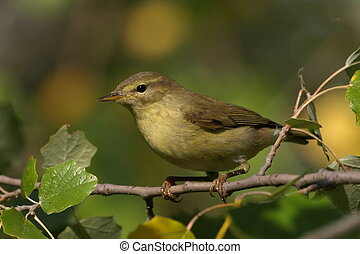 Common Chiffchaff - Chiffchaff perched phylloscopus...