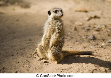 Meercat - Photo of a Meercat sitting